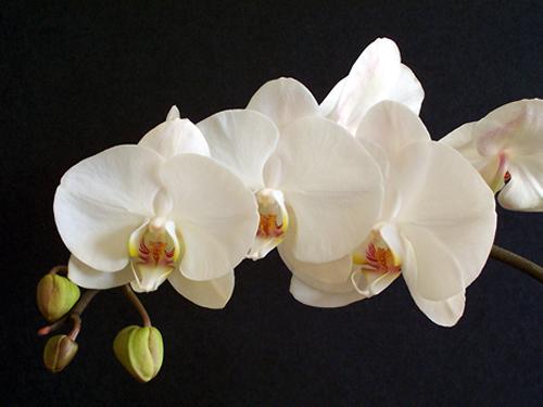 Orquídea Borboleta